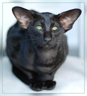 Восточный ориентальный кот