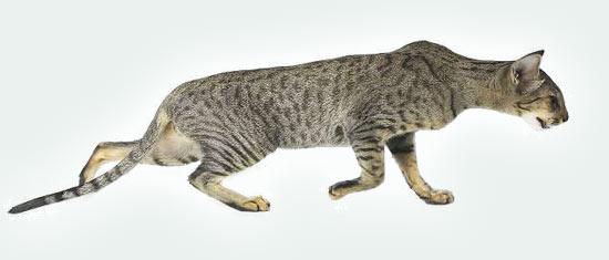 Ориентальные кошки питомника Salambo